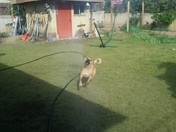 Ollie Playing in the Sprinkler