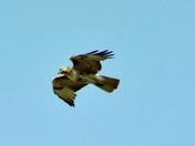 Cooper Hawk in Flight