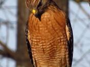 Hawk On A Limb.