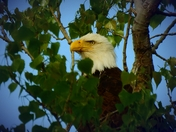 eagle at Chalco Hiils recrestion area