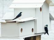 Blue Swallows in Rindge