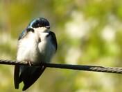 Blue Swallow in Rindge