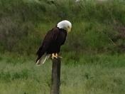 Rancho Cordova Eagle