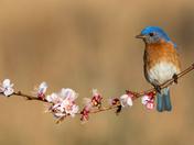 Eastern Bluebird (♂)