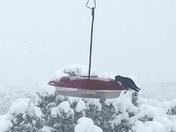 Hungry, cold hummingbird.