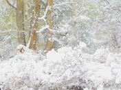 Plums under snow!