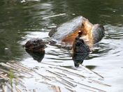 Spring at the marsh: turtles