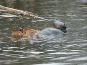 Spring turtle action at the marsh