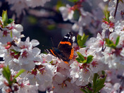 Red Admiral in the cherry blossoms