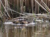 Turtles at the marsh: lover's spat