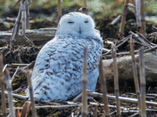 Snowy Owl by:Sylvain Champagne