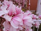 Magnolia Splendour