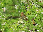 cardinals  male female