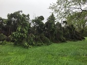 Down trees from today's storm