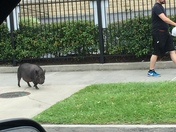 Guy Uptown walking his Hog 😬🤣