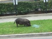 Guy Uptown walking his Hog 😬🤣