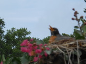 Robin hovering over her babies