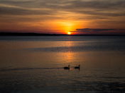 Two Canada Geese Swimming In The Sunset