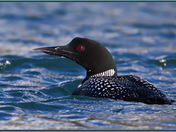 Common Loon - a bit closer