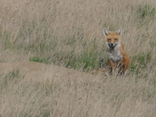 Spring Fox Two