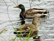 A pair of pair of Mallards foraging for food on the banks of Pearly Pond