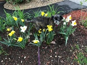 Giulio, my 17 year old dog in my daffodil patch.....sent by Kay Galloway, Atkins