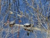 Turtles enjoying the day at Willard pond Somersworth