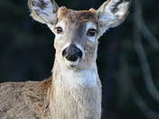 Whitetail in Freeze Alert