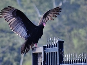 Turkey Vulture gives on a show