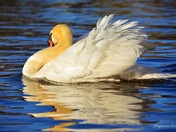 White Swan in the peaceful lake