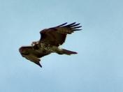 ooper Hawk