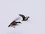 Mallard Ducks /winter
