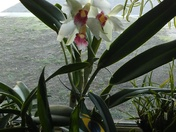 Laelia Purpurata in bloom