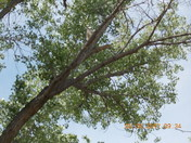 the Owl is about 5 weeks old,it lives with mom & pops on the nest on this tree,,