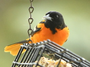 Oriole for Mother's Day