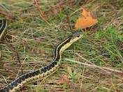 Garder Snakes
