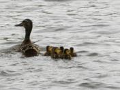 Ducks in the summer