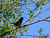 Spotted Towhee with pink tongue?