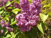 Back yard lilacs.