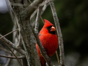 Peek-a-boo With A Cardinal