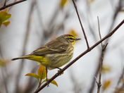 Warbler In A Tree
