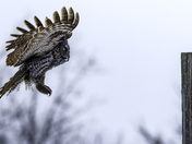 Great Gray Owl flying 1