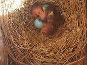 Bluebirds hatching