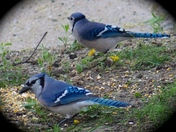 MR AND MRS BLUE JAY