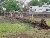 Tree downed by storm - Los Lunas