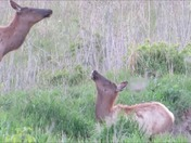 Elk playing in pond at Neal Smith National Wildlife Refuge