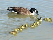 Canadian goose Mom and  young babies