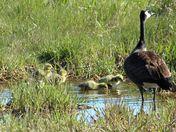 Goslings supervised practice swim