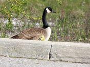 Peek-a-boo gosling