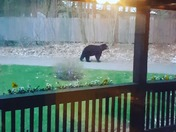 Bear in our yard!